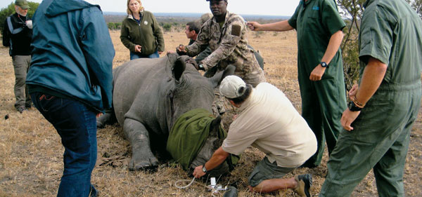 "Jim Parker administers 02 to a  rhino that has been anesthetized before being ""tagged"" for monitoring purposes."